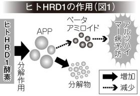 ヒトHRD1の作用