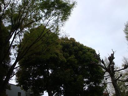 稽古場の樹
