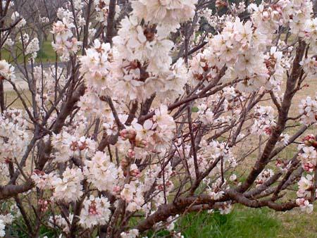 満開サクランボの花