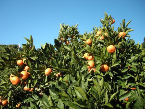 昔ながらの農法で栽培するみかん。最近では少なくなった。