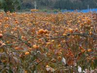 こうげの花御所柿