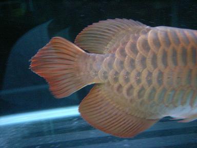 古代魚の証