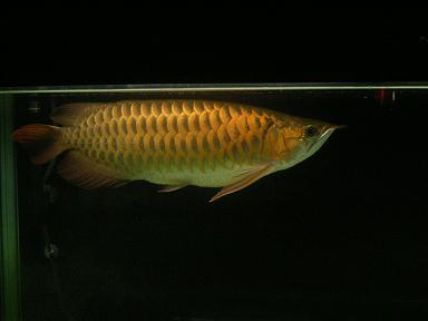 古代魚02
