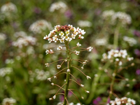 aなずなの花P2233204