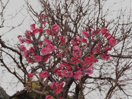 a庭の梅P2233225