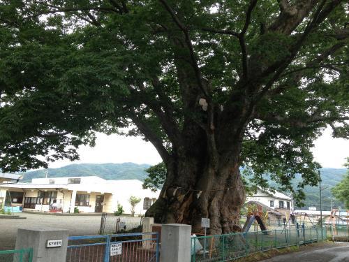 木下のケヤキ3