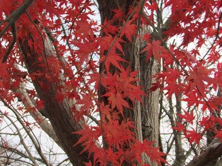 2010.12.18冬のもみじ
