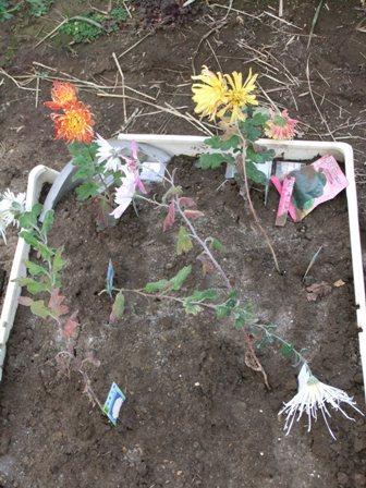 2010.12.30冬に咲く菊