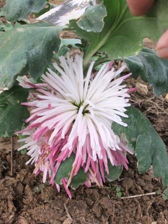 2010.12.30菊の花びら