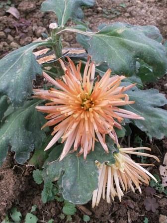 2010.12.30菊の花