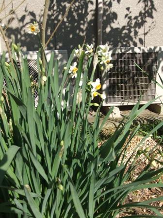 2010.12.31水仙の花