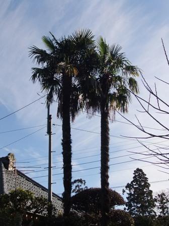 2011.1.1冬のシュロ