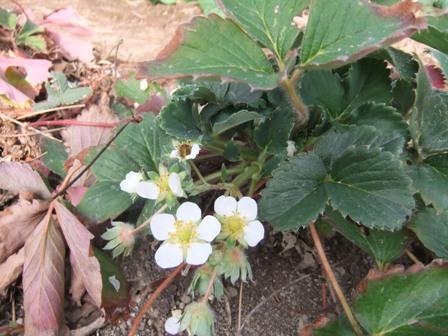2011.1.22イチゴの花