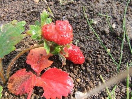 2011.1.22赤いイチゴ
