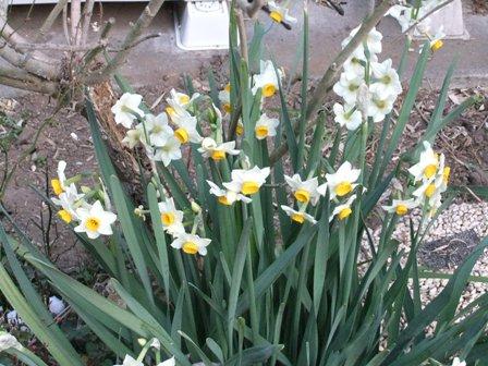 2011.1.30庭の水仙