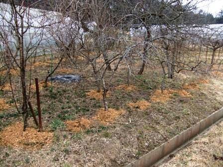 2011.2.6果樹園に堆肥を撒く001 (9)