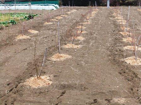 2011.2.6果樹園に堆肥を撒く001 (17)