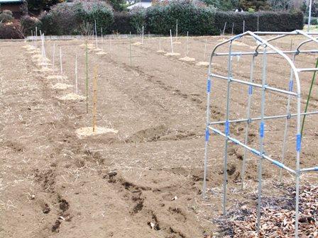 2011.2.6果樹園に堆肥を撒く001 (16)