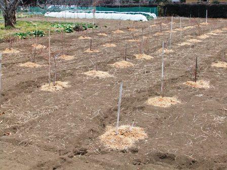 2011.2.6果樹園に堆肥を撒く001 (15)