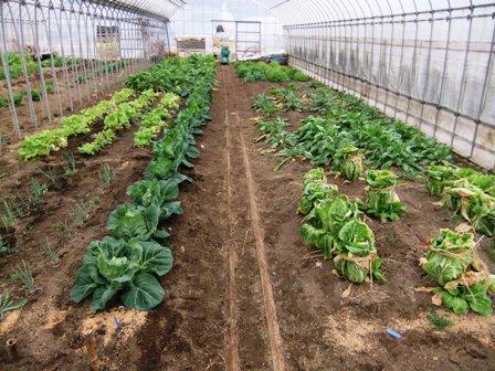 2011.2.6果樹園に堆肥を撒く001 (11)