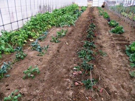2011.2.6果樹園に堆肥を撒く001 (12)