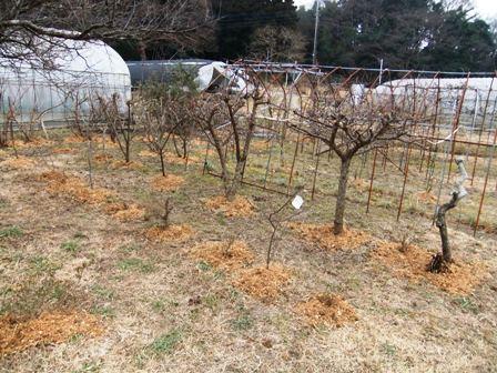 2011.2.6果樹園に堆肥を撒く001 (10)