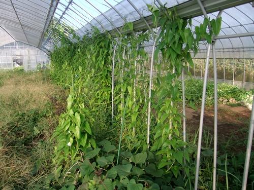 2011.10.4 秋のハウスの野菜たち 001 (11)