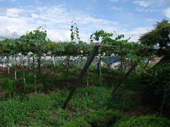 ブドウ畑2