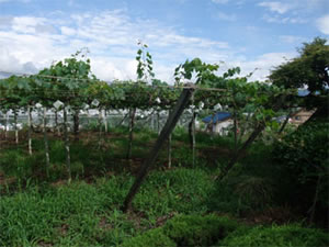 山梨の葡萄棚