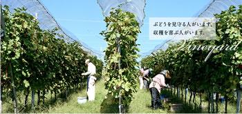 サントリーの葡萄畑