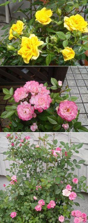 庭の薔薇3種
