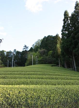 田原の茶畑1