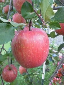 1リンゴ①
