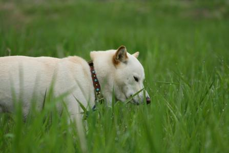 オレは雑草にはうるさいグルメ犬(←大うそ)