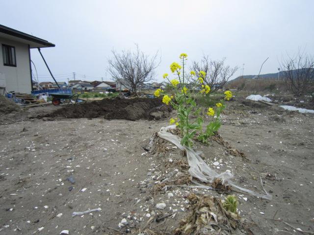 強く咲く菜の花