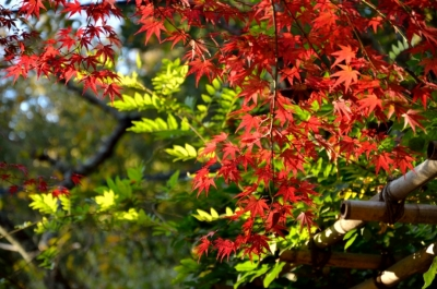 ⑥紅葉と藤棚