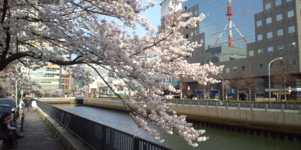横浜 桜-2