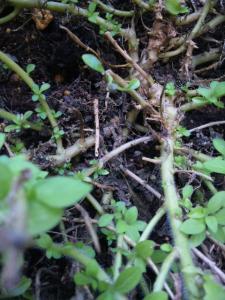 サフィニアブーケ 葉