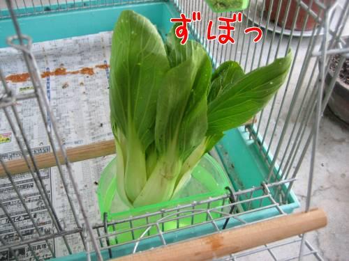 チンゲン菜②