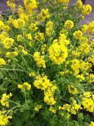 菜の花20130209