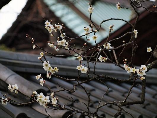 東慶寺の梅20-20130309