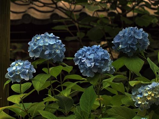 東慶寺のアジサイ1-20130608