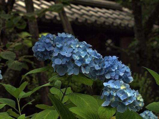 東慶寺のアジサイ2-20130608