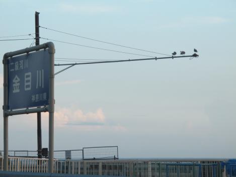 金目川にカモメ