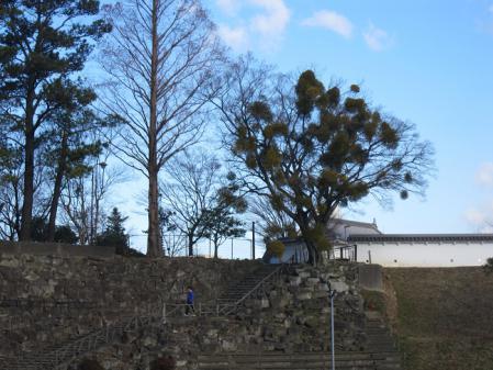 岡崎公園 ヤドリギ
