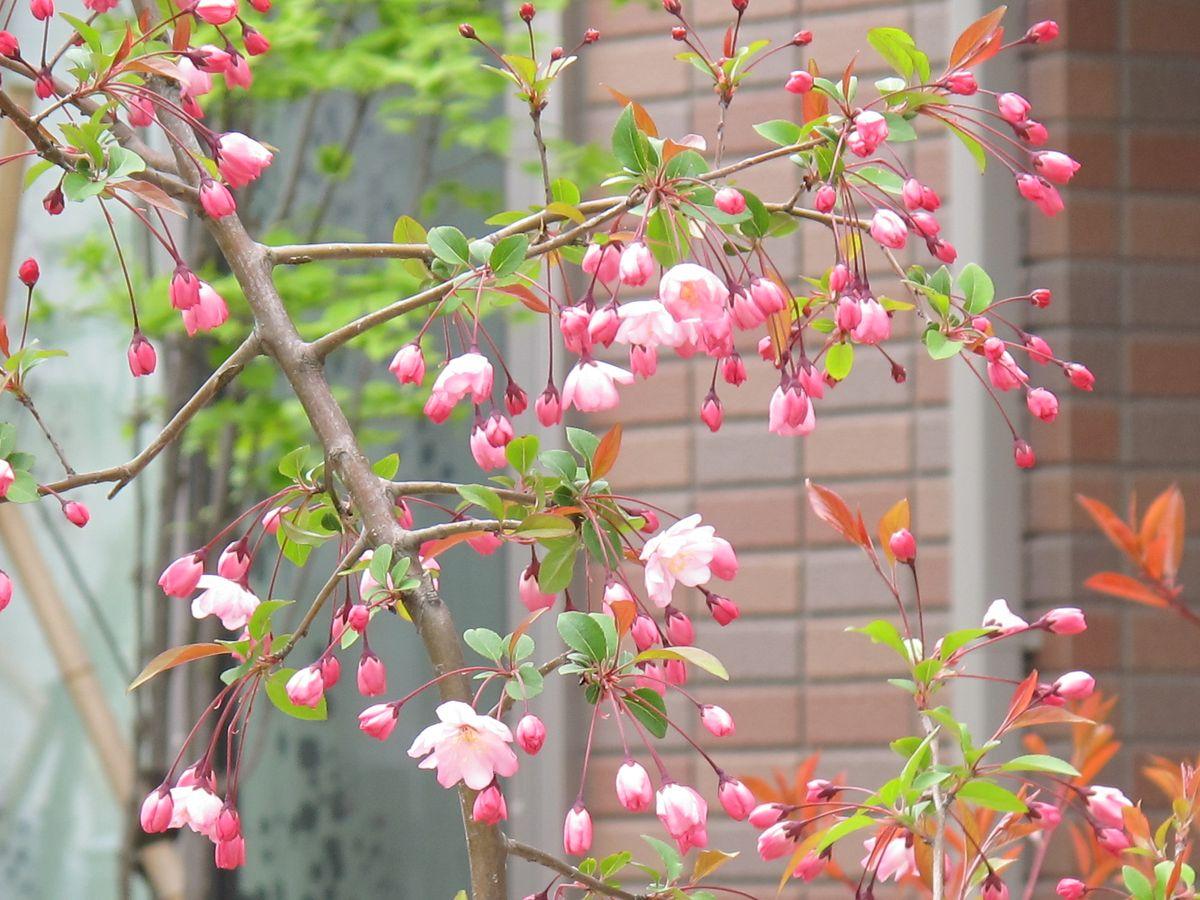 11年4月26日_191●S花海棠ハナカイドウ