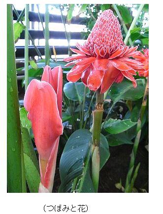 季節の花トーチジンジャー