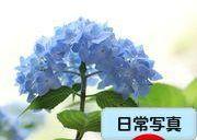 アジサイ●S2011・6・14園R_154●SFP