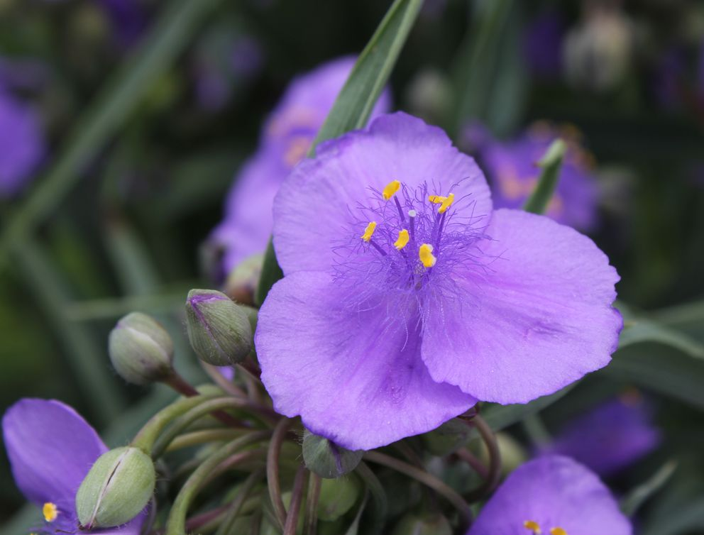 ●S紫露草2013・6・20下B_133