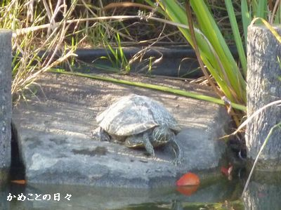 P1050771-kame2.jpg